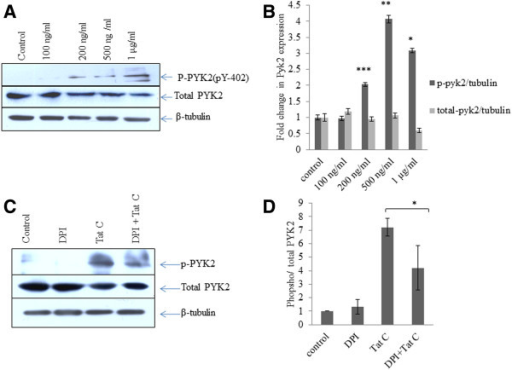 HIV-1 Tat C activates PYK-2 in dose dependent manner. (A) Western blot images showing a dose dependent increase in activity of PYK2 as increased phosphorylated form of PYK2 at Y-402 position in HIV-1 Tat C treated hBMVECs, as compared to control (buffer treated hBMVECs). (B) Densitometry of western blot images, done by ImageJ software to show quantitative changes in phosphorylation of PYK2 at different doses of HIV-1 Tat C treatment. Higher doses of HIV-1 Tat C protein significantly activated PYK2 (***shown for p value ≤0.0005) in three biological repeated experiments and results are shown as mean ± S.E. (C) Western blot analysis for phosphorylated PYK2 showing effect of ROS scavenger (DPI) on PYK2 activation. (D) The graph bars are showing densitometry to show average change in phosphorylated PYK2 after DPI treatment. P value ≤0.05 shown as *to show the significance level of change between Tat C versus DPI + Tat C treated group.
