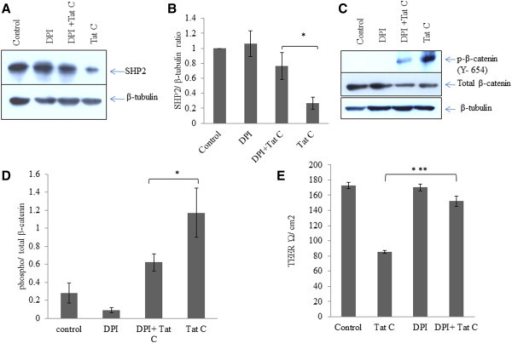 ROS scavenger (DPI) mediated rescue of SHP2 expression and downregulation in phosphorylation of β-catenin. (A) Western blot analysis for SHP2 expression level after DPI treatment and DPI treatment followed by HIV-1 Tat C treatment. DPI treatment shows significant potential for checking the HIV-1 Tat C mediated downregulation of SHP2 expression. (B) The graph bars are showing average change in SHP2 expression normalized by β-tubulin. Image densitometry analysis has been done by ImageJ software. (C) Western blot analysis showing effect of ROS inhibition on tyrosine phosphorylation of β-catenin. (D) The graph bars are representative of 3 independent experiments showing average change in tyrosine phosphorylation of β-catenin in DPI treated hBMVECs. P-value ≤0.05 has been considered as significant and shown as *between DPI + Tat C versus HIV-1 Tat C treated hBMVECs. (E) Change in TEER (Ώ/cm2) values after DPI treatment. The graph bars showing average change in endothelial permeability after scavenging ROS by DPI. All the experiments have been performed three times independently and data shown as mean ± S.E. P value ≤0.0005 shown as ***asterisk to indicate the level of significance between Tat C treated versus DPI + Tat C treated hBMVECs.