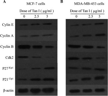 Cell cycle regulatory proteins in breast cancer cells following treatment with Tan I for 48 h. (A) MCF-7 cells and (B) MDA-MB-453 cells. Tan I, tanshinone I; Cdk2, cyclin-dependent kinase.