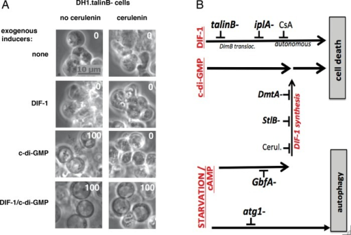 Recapitulation of some of the results on DIF-1 and c-di-GMP pathways inducing Dictyostelium cell death in monolayers. (A) TalinB− mutant cells were incubated or not with 50 μM cerulenin and with or without 100 nM DIF-1 and 10 μM c-di-GMP for 40 h. See the text for comments on the results. (B) Tentative representation of DIF-1 and c-di-GMP pathways inducing Dictyostelium cell death in vitro, with some of the mutations and drugs mentioned in this work. Bottom, a first signal—starvation plus cAMP—triggers autophagy and sensitizes cells to the second signal. Top, second signals would operate only on cells sensitized by the first signal. Exogenous DIF-1 triggers an autonomous pathway to cell death marked by several mutations. To induce cell death, exogenous c-di-GMP requires cooperation with endogenously synthesized (or exogenous, not represented) DIF-1. Middle, DIF-1 biosynthetic pathway, marked by other mutations, induced by cAMP, provides endogenous DIF-1 required for cooperation with exogenous c-di-GMP to induce cell death. We have not represented the iplA− mutation, which could inhibit both the exogenous autonomous DIF-1 pathway and exogenous DIF-1 cooperation.