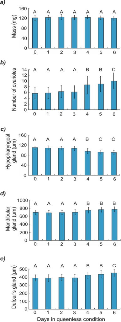 Mean (± SD) anatomical parameters for bees reared as larvae under seven different conditions.Body mass (a) number of ovarioles (b) size of hypopharyngeal glands (c) size of mandibular glands (d) and size of Dufour's gland (e) of newly emerged honeybee workers reared as larvae in the queenless condition for 0 to 6 days (see Methods; each bar represents pooled data from five colonies; groups that differ significantly from one another are indicated with different letters).