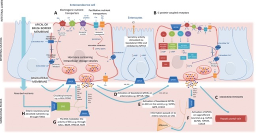 Sensing by the enteroendocrine system. Digestion products enter the small intestine and stimulate enteroendocrine cells (EECs) to secrete hormones which modulate gastrointestinal (GI) secretion, insulin secretion, gastric and GI motility, and satiety. Open type EECs have processes that extend to reach into the lumen to detect nutrients. Glucose, amino acids, and peptides are sensed by EECs via nutrient transporters (A). Nutrient transport depolarizes the plasma membrane (PM). Nutrient uptake signaling converges on voltage-gated Ca2+ channels (VGCCs). Plasma membrane depolarisation (ΔΨ) opens VGCCs allowing entry of extracellular Ca2+ to raise intracellular Ca2+ levels [Ca2+]I and stimulate the secretion of hormones from EECs. Glucose is sensed by electrogenic Na+-coupled uptake by sodium-coupled glucose transporter (SGLT1) to trigger membrane depolarization and the entry of extracellular Ca2+ via VGCCs. Intracellular metabolism of glucose or fructose via glucokinase, and closure of ATP-sensitive K+ channels also causes membrane depolarization and opening of VGCCs. Electrogenic uptake of certain amino acids via H+ or Na+ coupled amino acid transporters or peptides via the H+ coupled peptide transporter-1 (PepT1) can also trigger membrane depolarization and hormone secretion. Nutrients are also sensed by GPCRs (B). GPCR-mediated nutrient sensing in EECs stimulate the release of hormones via coupling to Gαs and Gαi that promote or inhibit adenylate cyclase activity, respectively, altering intracellular cAMP levels [cAMP]I. Gαq/11-coupled GPCRs stimulate phospholipase C activity to breakdown PIP2 into IP3 and DAG. Intracellular stores release Ca2+ in response to activation of IP3 receptors. Protein kinase C is activated by Ca2+ and DAG. Gαgustducin couples to TRPM5 via phospholipase Cβ2 and Ca2+ to cause membrane depolarization and open VGCCs. For example, fatty acids activate FFAR1 – 4 which mobilize Ca2+ while CB1 inhibits cAMP production. Products of triacylglycerol digestion, including oleoylethanolamide and monoacylglycerols, activate GPR119 to increase cAMP levels. Amino acids and oligopeptides also activate the CasR to trigger hormone secretion. Nutrient transporters are shown to highlight that these signaling pathways also operate in the presence of nutrient. Enteroendocrine signaling is integrated through GPCR signaling cascades. Hormones secreted from EECs may mediate effects locally or systemically. For example, hormones may enter the systemic circulation and the hepatic portal vein to activate receptors in other tissues via endocrine pathways (C). These hormones may activate receptors on enterocytes for example, PYY may activate NPY1R which increases cAMP levels and inhibits Cl− secretion or VIP may activate VPAC to decrease cAMP and stimulate Cl− secretion (D) or EECs in the vicinity, for example, CCK may activate CCK1R, GIP may activate GIPR, and Sst may activate SSTR5 (E). Hormones may activate GPCRs on vagal afferent neurones, for example, PYY may activate NPY1R, CCK may activate CCK1R, and GLP-1 or 2 may activate GLP1R or GLP2R, respectively (F). The enteric nervous system (ENS) also modulates EEC activity through the release of hormones and neurotransmitters including Ach (M2R), GRP/NMB (BBS2), PACAP (VPAC1R), galanin (GAL1), or α-MSH (MC4R) (G). The ENS can also detect absorbed nutrients through GPCRs including FFAR3 (H).