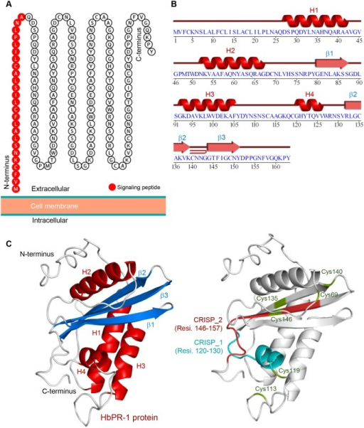 The putative cellular localization and predicted structure of HbPR-1.(A) HbPR-1 protein localization predicted by the Protter server. The result suggested that the HbPR-1 protein was located at the extracellular side of the cell membrane. The twenty-five amino acids (red color) at the N-terminus represent the predicted signaling peptide. (B-C) The cartoon representation of the model of HbPR-1 protein predicted using the SWISS-MODEL and I-TASSER server. (B) The graphical display of the 2D topology of the predicted HbPR-1 model. (C) The cartoon structure representation of HbPR-1 3D model with the four α-helices, three β-sheets, seven strands and one junction loop.