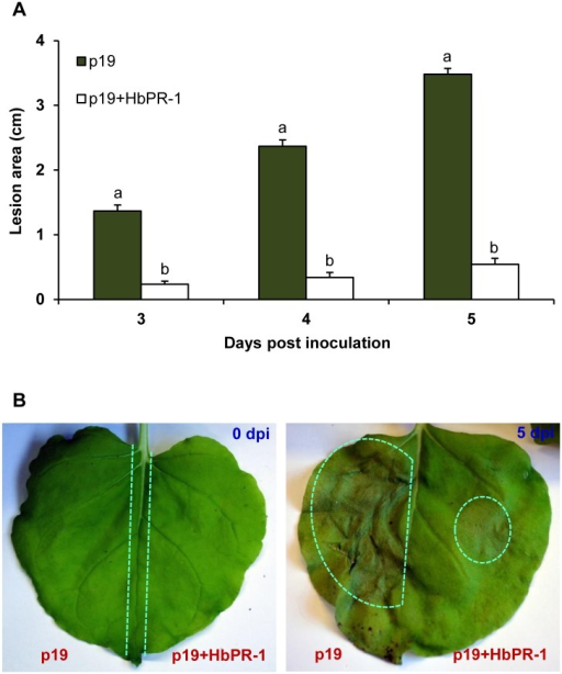 Effect of HbPR-1 on the protection of N. benthamiana against P. palmivora.Half leaf was infiltrated with A. tumefaciens GV3101 carrying the pJL3-p19 (p19) and the other half was infiltrated with A. tumefaciens C58-C1 carrying the pGD_HbPR-1 and A. tumefaciens GV3101 carrying the pJL3-p19 (p19+HbPR-1). After 24 h, the leaves were inoculated with 10-μL of 1×103 zoospores/mL. Data represented the average diameter of lesion area with standard error from 90 different leaves of 30 plants. Bars with different letters within day indicated statistically significant differences at P<0.05 according to the Duncan's multiple range test. (A) Average lesion area of N. benthamiana after inoculation with 1×103 zoospores/mL P. palmivora on 3, 4 and 5 days post inoculation (dpi). (B) Photographs of representative N. benthamiana leaves expressing p19 or p19 together with HbPR-1 at 0 and 5 dpi.