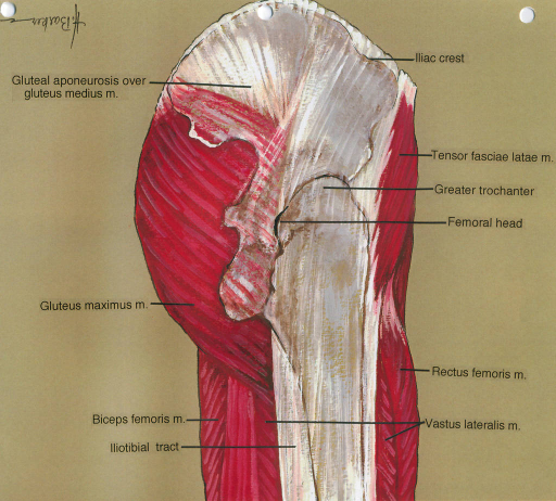 gluteal aponeurosis; gluteus medius muscle; gluteus maximus muscle; biceps femoris muscle; iliotibial tract; iliac crest; tensor fasciae lata muscle; greater trochanter; femur; vastus lateralis muscle