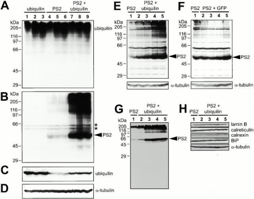 Ubiquilin promotes increased PS2 protein accumulation. (A–D) HeLa cells, 12 h after transfection with ubiquilin (15 μg expression plasmid, lanes 1–3), PS2 (7 μg expression plasmid, lanes 4–6), or both (lanes 7–9), were either left untreated (lanes 1, 4, and 7) or treated for 5–6 h with proteasome inhibitors (20 μM synthetic lactacystin in lanes 2, 5, and 8; 40 μM MG-132 in lanes 3, 6, and 9). Equivalent amounts of protein (100 μg) from each sample were immunoblotted with (A) anti-ubiquitin, (B) anti-PS2-NH2 terminus, (C) affinity-purified anti–ubiquilin-C, or (D) anti-α-tubulin antibodies. As expected, anti-ubiquitin antibodies detected larger molecular weight proteins in cells treated with proteasome inhibitors (lanes 2 and 3, 5 and 6, and 8 and 9) compared with untreated cells (lanes 1, 4, and 7). Significantly more PS2 protein (and slower migrating forms) could be seen in cells cotransfected with ubiquilin (lanes 7–9, arrowhead) compared with those transfected with PS2 alone (lanes 4–6). (*) A doublet of weakly reactive bands was detected in all lysates, but we considered them to be nonspecific proteins. The anti–α-tubulin blot shows equal protein loading of each sample. (E) HeLa cells were transfected with PS2 alone (9 μg expression plasmid, lane 1) or cotransfected along with increasing amounts of ubiquilin (1, 2, 3, or 4 μg expression plasmid in lanes 2–5, respectively). Equivalent amounts of the transfected lysates were separated through an 8.5% polyacrylamide gel and immunoblotted with anti–PS2-NH2 terminus antibody. (F) Same as in E, except with the same increasing amounts of GFP expression plasmid (lanes 2–5) instead of ubiquilin. (G) Same as in E, but proteins were separated on a 10% polyacrylamide gel and immunoblotted with anti–PS2-loop antibody. Note the absence of any detectable PS2 cleavage products corresponding to endoproteolytic PS2 cleavage in the loop. (H) The same blot shown in G or parallel blots were immunoblotted for lamin B, calreticulin, calnexin, BiP, and α-tubulin. The relative levels of these other endogenous proteins remained relatively unchanged compared with the PS2 levels.