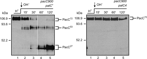 PalC is absolutely required for pH signalling.Western blot analysis of Myc-tagged PacC two step proteolytic processing in palC+ and palC4 cells cultured under acidic conditions and shifted to alkaline conditions. The positions of PacC72, PacC53 and PacC27 are indicated. The loss of function mutation palC4prevents the signalling protease cleavage converting PacC72 to PacC53 (and thus prevents processing proteolysis to PacC27) (35). Note the previously reported markedly abnormal electrophoretic mobility of the PacC forms in SDS gels, possibly resulting from the highly basic N-terminal zinc-finger region (51).