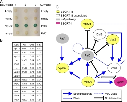 PalC two-hybrid interactions with ESCRT-III.A) PalC interacts with Vps32. The indicated GAL4 DNA-binding domain (DBD) and activation domain (AD) combinations were tested in Saccharomyces cerevisiaeY187 using the β-galactosidase filter lift assay. B) The indicated DBD and AD protein fusions were tested for two-hybrid interactions using quantitative β-galactosidase assays (given as enzyme units; SE, standard error). The reported PalA–Vps32 interaction is used here as a positive control. C) Network of PalC interactions tested in this work. The scheme summarizes data obtained using β-galactosidase quantitative (Figure 3B) and filter lift (not shown) assays with S. cerevisiaeY187 and the -Leu, -Trp, -His, -Ade QSM system (Figure S1) with S. cerevisiaeAH109. Arrows and 'T' symbols denote positive and negative two-hybrid interactions for a given prey-to-bait combination, as indicated. Those combinations that are not indicated have not been tested (Figure S1). Readers should note that while we have tested every possible two-hybrid combination between PalC and ESCRT-III proteins, we have not analysed interactions of all class E Vps proteins included in the diagram with one another. However, each of these ESCRT-III proteins has been validated (i.e. shown to give a positive interaction) with at least one partner in one orientation, and PalC is competent for interactions both as prey and as bait.