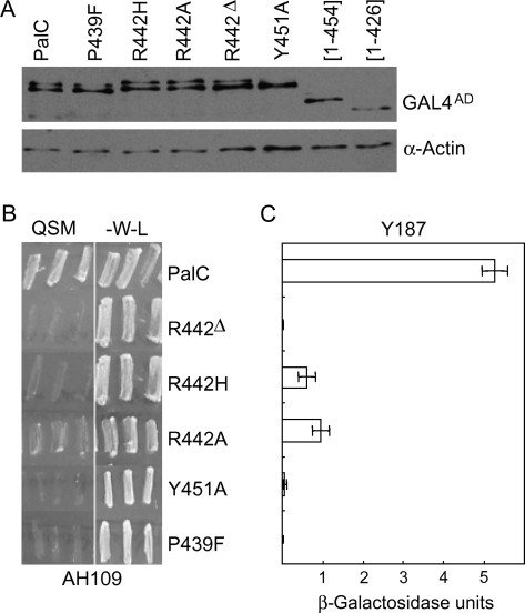 Single-residue substitutions/deletion within PalC conserved regions I and II largely impair or prevent its interaction with Vps32.A) Western blot analysis of yeast strains expressing the indicated fusion proteins, which were used as preys in two-hybrid assays. Fusion proteins were detected with anti-HA antibody. Actin was used as a loading control. B) PalC mutations affecting two-hybrid interaction with Vps32, as determined by quadruple selection on -Leu, -Trp, -His, -Ade medium using strain AH109. The experiment was carried out in triplicate. QSM indicates quadruple selection medium. -W-L is medium lacking Tp and Leu. C) PalC mutations affecting two-hybrid interaction with Vps32, as determined by quantitative β-galactosidase assays using strain Y187. Bars indicate standard errors.