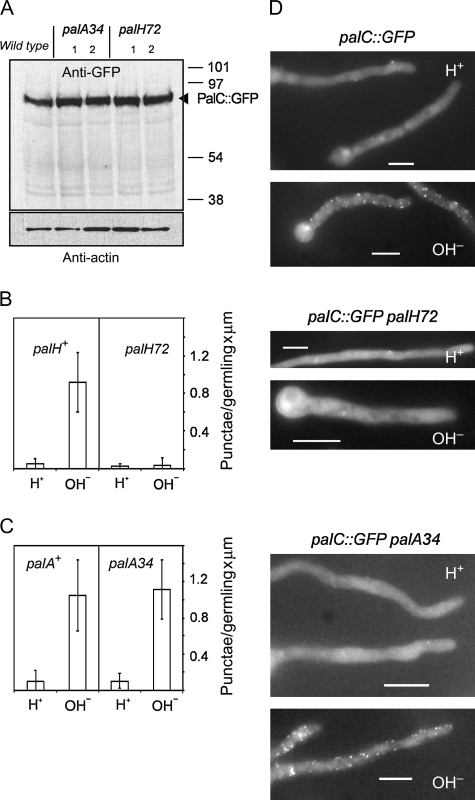 PalH-dependent and PalA-independent localization of PalC to cortical punctate structures.Strains carrying the gene-replaced palC-GFPallele in combination with palA34or palH72were compared with palC-GFPwild-type controls. A) Western blot analyses, using anti-GFP and anti-actin antibodies, of protein extracts from the wild type and from mutant strains (two clones with the indicated genotypes were analysed among the progeny of each cross). B and C) Quantification of PalC-GFP punctate structures upon shifting the indicated strains to alkaline pH. D) Representative images of PalC-GFP localization in the wild type and in the indicated mutants under acidic and alkaline conditions. Bars, 5 μm.