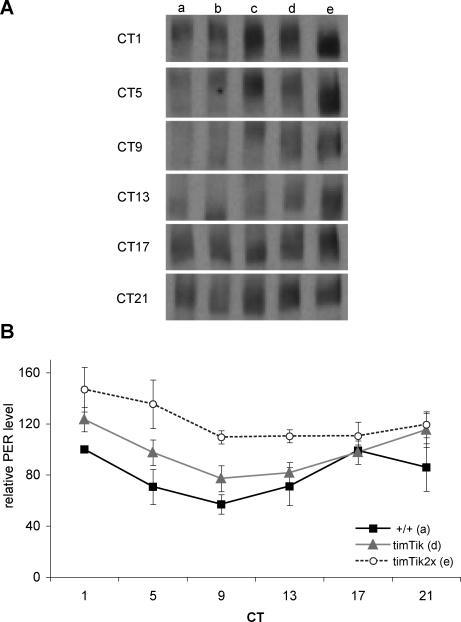 CK2αTik Circadian Overexpression Alters PER Protein Levels and Mobility(A) Representative PER western blots demonstrating differences in PER protein amount and mobility with UASTik overexpression during constant conditions. (a) y w, (b) timGal4/+; UASTikR/+, (c) Tik/+, (d) timGal4/+; UASTikT1/+, and (e) timGal4; UASTikT1.(B) Quantification of PER protein levels indicate that decreasing CK2α function results in elevated levels and delayed decline of PER. +/+: y w, timTik: timGal4/+; UASTikT1/+; timTik2x: timGal4; UASTikT1. CT: circadian time. Quantification done from three independent experiments.