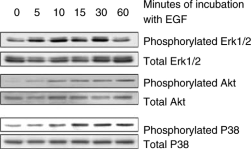 Effect of EGF on Erk1/2, Akt, and P38 phosphorylation in NCI-N87 cells. The cells were incubated in 5% serum-containing medium overnight and then were incubated with 50 ng ml−1 EGF for the indicated duration in 1% serum-containing medium. Phosphorylated and total protein levels were determined by Western blot analyses. EGF led to induction of phosphorylated Erk1/2, Akt, and P38.