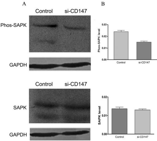 Effects of si-CD147 on MAPK expression in SMMC-7721 cells. p38, ERK1/2, and JNK MAP kinase expression levels were analyzed in SMMC-7721 cells, respectively. Western blot analysis showed that si-CD147 inhibited the phosphorylation level of SAP/JNK but had no effects on non-phosphorylation level of SAP/JNK (A). GAPDH (lower panel) served as a loading control. The graph (B) compares scanning signal intensity of phos-SAPK and non-phos-SAPK expression by ImageJ software.