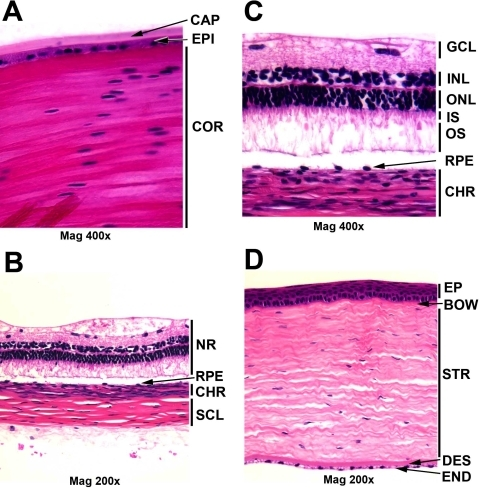 Morphology of guinea pig eye tissues for the Hartley strain used for the NEIBank library, stained with hematoxylin and eosin reagent. A: Lens capsule, epithelium and cortex in the bow region: capsule (CAP), epithelium (EPI), and cortical fiber cells (COR). The guinea pig lens is similar to human and mouse. B: Neural retina (NR), retinal pigment epithelium (RPE), choroid (CHR) and sclera (SCL). C: Retinal layer and choroid: ganglion cell layer (GCL), inner nuclear layer (INL), outer nuclear layer (ONL), inner segment (IS), outer segment (OS), retinal pigment epithelium (RPE), and choroid (CHR). The guinea pig retina is 4–5 nuclei thick, similar to the human retina. D: Cornea: corneal epithelium (EP), Bowman's membrane (BOW), Stroma (STR), Descemet's membrane (DES) and endothelium (END). The guinea pig cornea is similar to human, while the mouse has a thinner stroma.