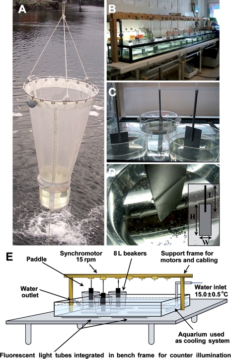 Collection and culture of Oikopleura dioica. (A) Animals are collected using a customized plankton net with a transparent, large, plexiglass cod end. (B) Overview of the culture system diagrammed in E. (C) Animals are cultured in 6 L of seawater in 8-L polycarbonate beakers and maintained in suspension by a polyvinylcarbonate (PVC) paddle rotating at 15 rpm. (D) The beakers are supplemented with grains of activated charcoal to regulate water quality over time. The paddles are made with a 3 mm thick PVC plate attached to an 8 mm diameter PVC rod using PVC glue. Dimensions (cm) of the paddle (inset) are adjusted according to developmental stage. H×L×W = 25×30×8 for spawning, days 1 and 2. The dimensions for other developmental stages are 25×30×7. (E) Schematic illustration of physical organization of the culture system. The fluorescent lighting mounted in the bench top greatly facilitates working with the transparent animals without the need to displace beakers to light boxes.