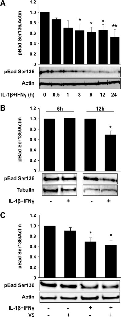 IL-1β plus IFN-γ induces Bax-independent dephosphorylation of Bad Ser136 in INS-1 cells and rat islets. Bad Ser136 dephosphorylation after cytokine exposure was assessed by immunoblotting in INS-1 cells (A and C) or rat islets (B). C: Cells were pre-exposed to V5 (100 μmol/l) for 1 h before exposure to cytokines for 24 h. Data are presented as mean ± SE of four experiments (A), seven experiments (24 h) (B) or two experiments (6 h) (B), and seven experiments (C). Representative gels are shown, and actin and tubulin were used as loading controls. *P < 0.05, **P < 0.01, ***P < 0.001 vs. controls.