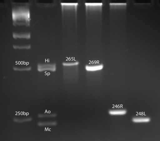 Multiplex PCR Results. Multiplex PCR products were electrophoresed on 2.5% agarose. Hi, Haemophilus influenzae control band, expected size 525 bp; Sp, Streptococcus pneumoniae control band, expected size 484 bp; Ao, Alloiococcus otitidis control band, expected size 264 bp; Mc, Moraxella catarrhalis control band, expected size 237 bp; 265L, 269R, 246R, and 248L, experimental samples; bp, base pair.