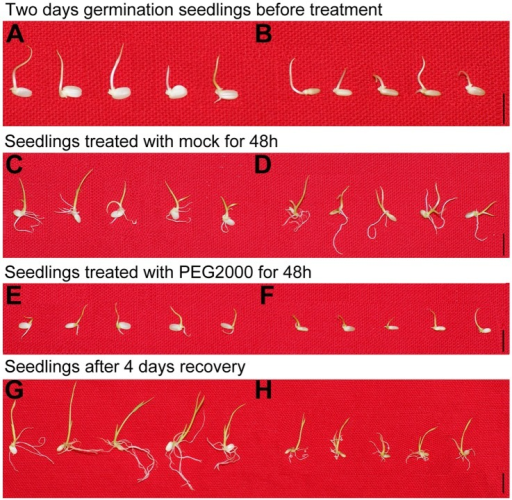 The phenotype of the PEG-sensitive T-DNA insertional rice line.After two days germination, wild-type (WT) (A) and mutant lines (B) were treated with 20% PEG2000. WT and mutant lines were treated with mock (C and D) and 20% PEG2000 (E and F) respectively, for 48 h. Seedlings of treated WT (G) and mutant seedlings (H) were recovered for 4 days. Bar = 1 cm.