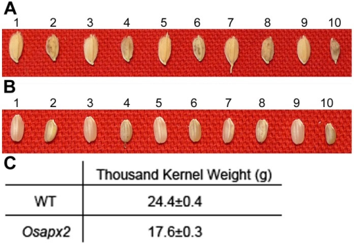 The seed phenotype of WT and Osapx2.A,B: the seed phenotype of WT (odd numbers) and Osapx2 (even numbers), before dehulling (A) and after dehulling (B). C: The thousand kernel weight of WT and Osapx2 seeds.