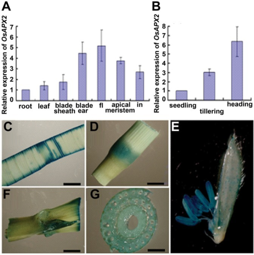 Developmentally regulated OsAPX2 expression in rice tissues.A: RT-qPCR was performed to analysis the expression of OsAPX2 in root, leaf, blade sheath, blade ear, flower (fl), apical meristem and internode (in). B: The expression of OsAPX2 in leaves at different stages. C,D,E,F,G Expression patterns of OsAPX2 revealed by GUS staining. Leaf (D), internode (D), blade ear (F) and the transversely side of internode (G), flower (E). Bar = 200 µm.