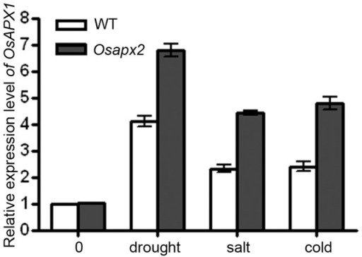 The expression of OsAPX1 in Osapx2.The expression of OsAPX1 was detected in leaves of wild-type and Osapx2 mutant seedlings under normal condition and after stress treatments. Data represent means ± SD of three replicates.