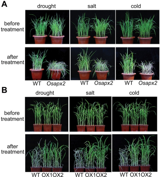 Effect of OsAPX2 expression on drought, salt and cold tolerance in rice.A: Without OsAPX2, Osapx2 mutant plants showed sensitive to drought, salt and cold treatments. B: OsAPX2-OX transgenic plants showed tolerance to drought, salt and cold treatments.