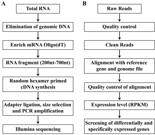 Pipeline of experiment (A) and bioinformatics analysis (B).