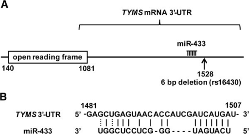 Prediction of miRNA-binding sites in the 3′-UTR of TYMS mRNA. (A) The locations of the 6-bp deletion (indicated as arrow) and predicted miR-433-binding site in the 3′-UTR of TYMS mRNA. (B) Homology between the 3′-UTR of TYMS mRNA and the predicted target sequence of miR-433. Numbers indicate mRNA positions.