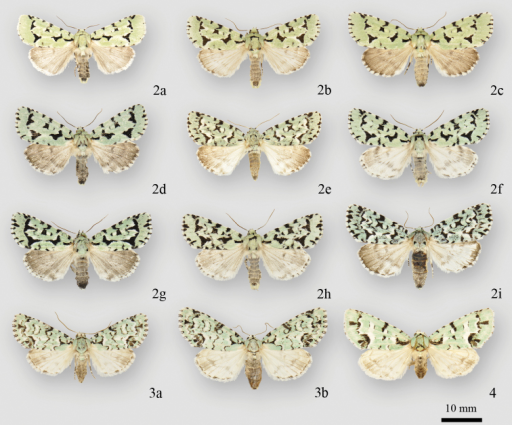 Acronicta and Chloronycta adults. 2aAcronicta fallax male (North Port, FL) 2bAcronicta fallax male (Hillsboro, MO) 2cAcronicta fallax female (Hillsboro, MO) 2dAcronicta fallax female (Backus Woods, ON) 2eAcronicta fallax male (Cartwright, MB) 2fAcronicta fallax male Edmunston, NB) 2gAcronicta fallax female (Ottawa, ON) 2hAcronicta fallax male (La Verendrye Reserve, QC) 2iAcronicta fallax male (Crooked Lake, SK) 3aChloronycta tybo male (Huachuca Mtns, AZ) 3bChloronycta tybo female (Cave Ck. Cyn., Chiricahua Mtns, AZ) 4Chloronycta sp. female (Turundeo, MEX).