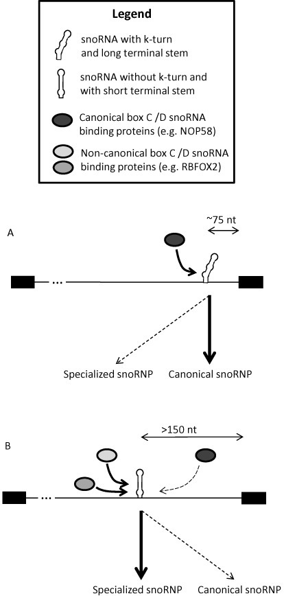 Intronic snoRNA processing model. (A) Intronic snoRNAs displaying canonical features including a strong k-turn and/or proximity to the downstream exon are more likely to follow the canonical processing pathway including dependency on core box C/D snoRNP proteins such as NOP58. (B) In contrast, snoRNAs displaying non-canonical features are more likely to depend on non-canonical snoRNA binding proteins such as RBFOX2.