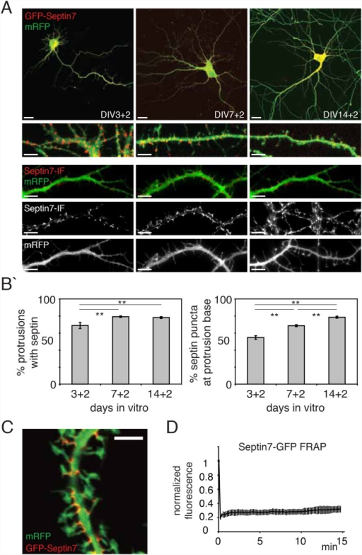 A membrane-aligned, stable Sept-positive structure locates to dendritic spine necks.(a) Fluorescence images of fixed primary hippocampal neurons at various days in vitro (DIV) expressing Sept7-GFP and mRFP for two days (+2). Scale bars are 20 µm. Below are magnified regions to clarify the localization of Sept7-GFP (first row) and immunostained endogenous Sept7 (second row) respectively, these are also shown as single channel mages at the bottom to emphasize the discrete localization of septins at the base of protrusions. Scale bars are 5 µm. (b) Quantification of experiments as shown in (a). Over time, more protrusions bear Sept7-GFP at their neck (left) and Sept7-GFP spots are more likely to be localized to protrusion necks (right). Histograms show mean ± SEM; **p<0.01, in One-way ANOVA. n>30 neurons in >3 independent experiments. (c) Confocal images of fixed hippocampal neurons at DIV 21 after 2 weeks of Sept7-GFP (pseudocolored red) and mRFP (pseudocolored green) expression. Sept7-GFP staining is concentrated in arc-like structures aligning spine necks. (d) Quantification of fluorescence recovery after photobleaching experiments on Sept7-GFP complexes in DIV 7 neurons. Shown is the average recovery measured of a total of 345 spotlike Sept7-GFP structures in 31 cells in 4 cultures with SEM.