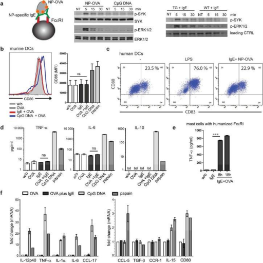 IgE/FcεRI-crosslinking does not induce phenotypic maturation or production of inflammatory cytokines in DCs. (a) Antigen-mediated IgE/FcεRI activation induces phosphorylation of Syk and Erk1/2 in DCs. Splenic DCs were loaded with NP-specific IgE prior to incubation with NP-OVA (see schematic). IgER-TG DCs were also stimulated with CpG DNA, or antigen-crosslinking was omitted (NT = not treated). As a control, WT DCs were treated identically. Immunoblots for phospho-Syk, total Syk, phospho-Erk1/2 or total Erk1/2 are shown. (b) IgE/FcεRI-crosslinking fails to upregulate expression of maturation marker molecules in DCs from IgER-TG mice and (c) human monocyte-derived DCs. (d) Absence of cytokine secretion by splenic DCs upon antigen-specific IgE/FcεRI-crosslinking. Mean of triplicates +/− SEM, representative experiment (n=2); below detection level (bd) (e) TNF-α secretion from bone-marrow derived mast cells upon antigen-specific IgE/FcεRI-crosslinking. (f) Absence of transcriptional responses in murine DCs after antigen-specific IgE/FcεRI-crosslinking. mRNA expression was determined after 8 h. OVA uptake in the presence of CpG-DNA or papain was compared to IgE/FcεRI-mediated OVA uptake. Fold change compared to DCs that received OVA was calculated, and the mean of triplicates +/− SEM is shown, representative experiment (n=2).
