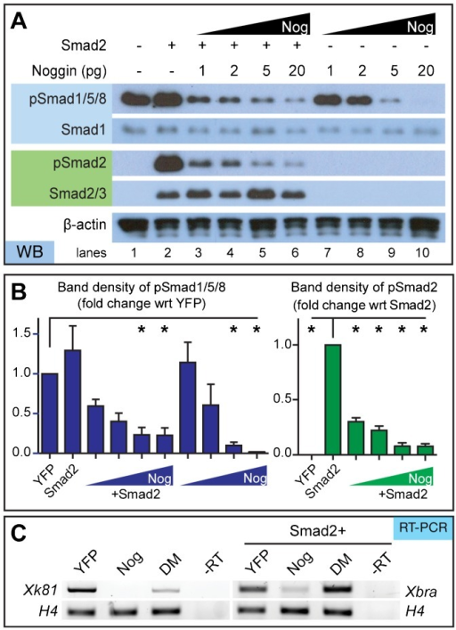 Noggin inhibits Smad1/5/8 and Smad2 phosphorylation in a concentration-dependent manner.(A) Western blot of animal caps isolated from embryos injected with specified amount of Noggin RNA with and without 50 pg Smad2 RNA. Smad1, Smad2, and β-actin served as loading controls. (B) Densitometric analysis of western blots shows that higher concentrations of Noggin inhibit pSmad1/5/8 and pSmad2 (N = 3). (C) Noggin inhibits BMP and Activin pathway-specific gene transcription. Noggin-treated caps can inhibit the epithelia marker, xk81, and mesoderm marker, xbra, as determined through RT-PCR. Conversely, DM affects BMP, not Activin, pathway gene transcripts since it can only affect xk81 expression; N = 3. Error bars  =  ±s.e.m.; *p<0.05.