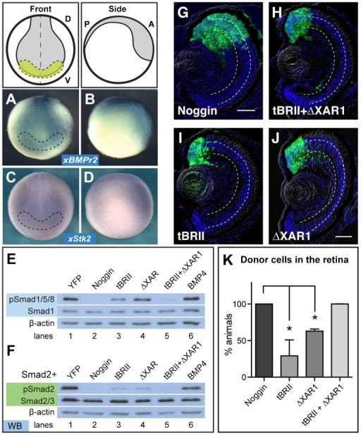 (A-D) Whole mount in situ hybridization for BMP (A,B) and Activin (C,D) type II receptors in stage 15 embryos show expression in the eye field (yellow), outlined with the dashed lines. (A) and (C) show the front view, while (B) and (D) show a side view. (E) Expression of truncated BMP (tBRII, 500 pg) or Activin (ΔXAR1, 1 ng) receptors individually suppress pSmad1/5/8, but signaling is repressed further with expression of both tBRII+ΔXAR1. (F) pSmad2 is also repressed with the expression of both tBRII and ΔXAR1. (G-K) Using the ACT assay, the tBRII+ΔXAR1-expressing cells end up in the retina more frequently than either the tBR or ΔXAR1-expressing pluripotent cells. Scale bar, 50 µm. Dashed lines lie on outer and inner plexiform layers. (K) ACT results quantified and statistics determined using a student's t-test, N=2. Error bars = ±s.e.m.; *p,0.05. Green, YFP; blue, DAPI staining. Dorsal 'D', ventral 'V', posterior 'P', anterior 'A'.