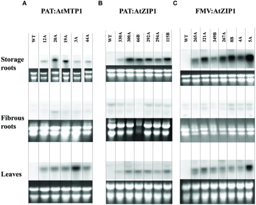 Northern blot analysis for transgenic expression of AtMTP1 and AtZIP1 in storage parenchyma or tuberous roots, fibrous roots and leaves of 18 transgenic events. Transcript levels of the AtMTP1 and AtZIP1 driven by patatin promoter (A,B) and FMV promoter (C) in 4-month-old plants grown in a growth chamber. A 10 μg aliquot of total RNA was used for Northern analysis. WT, wild type control and multiple transgenic events for each construct.