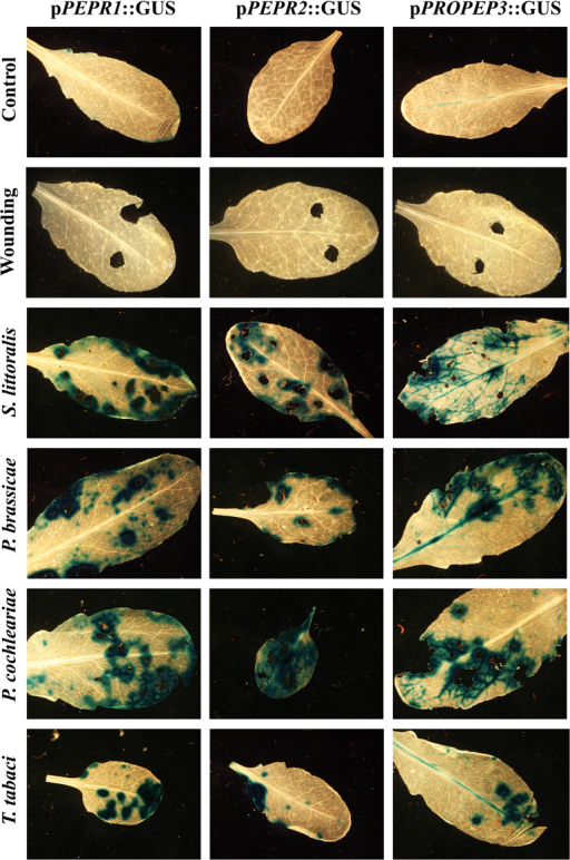 The promoters of PEPR1, PEPR2, and PROPEP3 are activated independently of feeding behaviour and specification of the feeding herbivore. Leaves of transgenic Arabidopsis plants expressing pPEPR::GUS and pPROPEP3::GUS reporter constructs were either wounded using cork borers or exposed to feeding insects. After 12h, they were detached from the plant, fixed, and stained. The following insects were assessed (from the top): Spodoptera littoralis (generalist, chewing), Pieris brassicae (specialist, chewing), Phaedon cochlearieae (specialist, chewing), and Thrips tabaci (generalist, sucking).