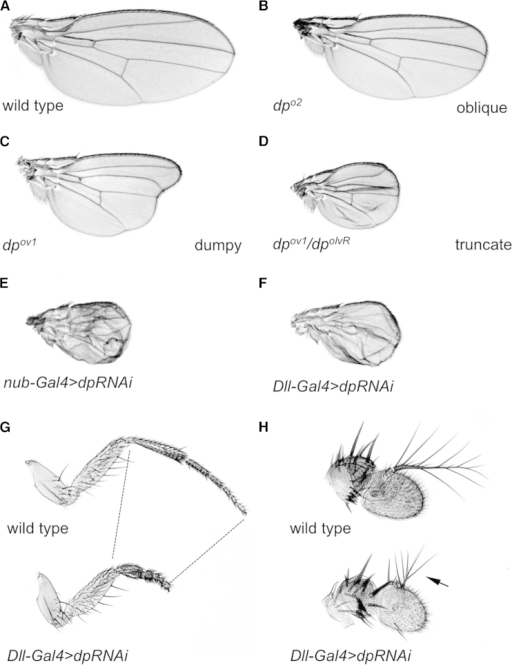 The dp Gene Is Required to Shape the Drosophila Wing, Leg, and Antenna(A–F) Wing phenotypes associated with wild-type (A) or dp loss of function (B–F). The dpo alleles produce wing phenotypes of differing severity: oblique (B), dumpy (C), and truncate (D). The silencing of dp by the expression of a UAS RNAi transgene in the entire wing blade with nub-Gal4 (E) or along the wing margin with Dll-Gal4 (F) recapitulates the truncate phenotype (E).(G and H) The phenotypes associated with Dll-Gal4>dpRNAi in the second leg (G) and antenna (H) compared with the wild-type (top). As in the wing, dp knockdown results in a contraction of the distal part of the appendage.