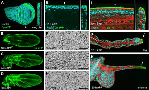 The Dp Protein Is an aECM Component that Is Specifically Localized during Morphogenesis(A–G) Immunolocalization of Dp in the wild-type third instar wing disc (A), pupal wings during hinge contraction (B–E), in pupal legs (J), and antennae (K).(A–G and J–K) Dp-YFP is shown in green, actin in red, and the nuclei in blue.(A, E, and I) Insets show a z stack of the main image along the plane indicated by the arrowhead.(A) In larval imaginal discs, Dp is expressed uniformly throughout the epithelium and is localized apically.(B–E) In the pupal wing, expression is dynamic: at 18 hr APF, Dp is only found apically at the wing margin, with weak expression along the trajectories of L3 and L5 (B and E). Over the next 10 hr, Dp accumulates uniformly over the apical surface of the epithelium, so that by 30 hr APF, the protein appears in a diaphanous network overlying the actin-rich apical membrane (C, D, and I).(F–H) SEM images reveal the development of the aECM network between 18–30 hr APF (the scale bar represents 5 microns). At 30 hr APF, the aECM is similar in appearance to the aECM that has been described in vertebrate systems. In the legs and antennae, Dp is also localized in the early stages of tissue contraction, with high levels of the protein detected at the extreme tip of the leg (J) and at the equivalent position in the antenna (K). (F)–(H) show SEM images of the pupal wing surface at the stages indicated.