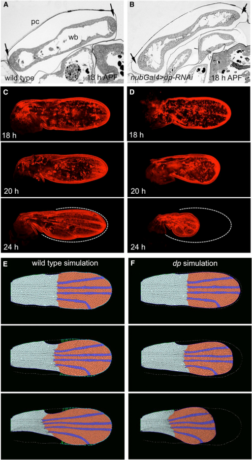 Dp Anchors the Wing Margin to the Pupal Cuticle to Define the Pattern of Global Forces that Shape the Wing(A and B) Bright field images of frontal sections of wild-type (A) and nub-Gal4>dp-RNAi (B) wings at 18 hr APF, just after the pupal apolysis. In the wild-type, the anterior and posterior margin of the wing blade (wb), but not the dorsal and ventral surfaces, are attached to the overlying pupal cuticle (pc) (A, arrows), while in the dp-RNAi, the epithelium is fully detached (B, arrows). Consequently, phalloidin staining (red) reveals that the wild-type wing remains apposed to the cuticle during the period from 18–24 hr APF (C), while the dp-RNAi wing retracts proximally (D).(C and D) The position of the cuticle is indicated in the final panel by a dashed white line.(E and F) Epithelial vertex model of pupal wing morphogenesis. The starting point of the simulation is the early pupal wing shape, with the hinge region shown in light blue and the blade in red. The wing veins are shown in dark blue. The contraction of the tissue, most strongly in the hinge region, combined with anchorage of the wing margin (green lines) are sufficient to simulate wild-type wing morphogenesis. When the anchorage of the margin is absent in the computer model, the entire wing retracts, simulating the dp mutant wing (see Movie S1).
