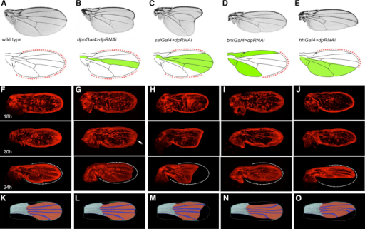 Altering the Pattern of Dp Gives Rise to Predictable Changes in Wing Shape(A–E) Adult wing phenotypes for wild-type (A), localized silencing of Dp with dpp-Gal4 (B), sal-Gal4 (C), brk-Gal4 (D), hh-Gal4 (E) (top), diagrams showing the region of the wing where Dp is silenced (green), and the corresponding pattern of Dp anchorage (red asterisks) (bottom).(F–J) Developmental time course of pupal wing development revealed by phalloidin staining (red) showing the ontogeny of the shape change from 18 to 24 hr APF. The position of the pupal cuticle with respect to the wing is shown in the final panel (dashed white line).(K–O) The final images from the computational simulations of the genotypes corresponding to (A)–(E), using the epithelial vertex model (see Movie S2). The wing blade cells are shaded red, the hinge cells are shaded light blue, and the vein cells are shaded dark blue. The dashed white lines mark the wing outline at the beginning of the simulation. The Dp anchorage to the cuticle is shown as green lines ending with green dots and the anchorage in the hinge as green dots.