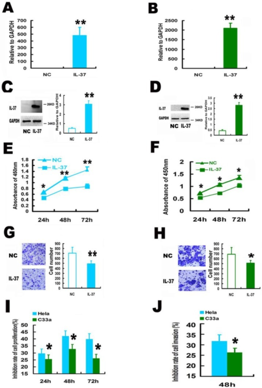Expression of human IL-37 suppressed the proliferation and invasion of HPV+ Hela and HPV- C33A cells. (A, B) Transfection of IL-37 increased the mRNA expression of IL-37 in Hela (A) and C33A (B) cells. (C, D) Transfection of IL-37 increased the protein expression of IL-37 in Hela (C) and C33A (D) cells. (E, F) IL-37 inhibited the cell proliferation of Hela (E) and C33A (F) cells. (G, H) IL-37 suppressed the cell invasion of Hela (G) and C33A (H) cells. (I) IL-37 showed higher anticancer ability to suppress cell proliferation in HPV+ Hela cells than that in HPV- C33A cells. (J) IL-37 showed higher anticancer ability to suppress cell invasion in HPV+ Hela cells than that in HPV- C33A cells. (N=3). NC: normal control gourp (transfection of blank expression vector). IL-37: IL-37 gene transfection group.