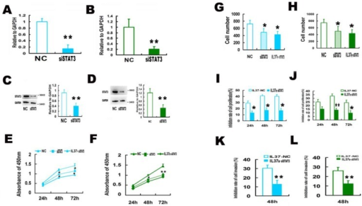 STAT3 siRNA (siSTAT3) transfection reduced the anticancer ability of IL-37 in Hela and C33A cells. (A, B) SiSTAT3 suppressed the mRNA expression of STAT3 in Hela (A) and C33A (B) cells. (C, D) siSTAT3 suppressed the protein expression of STAT3 in Hela (C) and C33A (D) cells. (E, F) siSTAT3 and IL-37 transfection suppressed the cell proliferation of Hela (E) and C33A (F) cells. (G, H) siSTAT3 and IL-37 transfection suppressed the cell invasion of Hela (G) and C33A (H) cells. (I, J) STAT3 siRNA transfection reduced the anticancer ability of IL-37 to suppress cell proliferation of Hela (I) and C33A (J) cells. (K, L) STAT3 siRNA transfection reduced the anticancer ability of IL-37 to suppress cell invasion of Hela (K) and C33A (L) cells. NC: normal control. siSTAT3: STAT3 knockdown group. IL37-NC: IL-37 gene transfection group. IL37+siSTAT3: IL-37 gene transfection with blockage of STAT3 group.