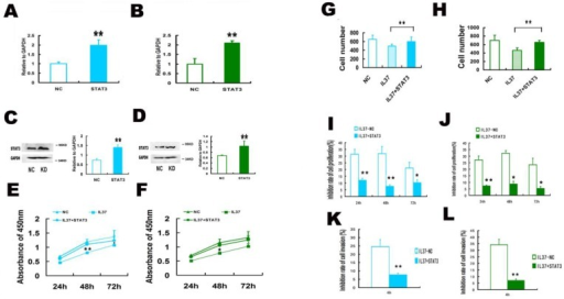 STAT3 up regulation restored the proliferation and invasion ability in Hela and C33A cells. (A, B) STAT3 gene transfection increased the mRNA expression of STAT3 in Hela (A) and C33A (B) cells. (C, D) STAT3 gene transfection increased the protein expression of STAT3 in Hela (C) and C33A (D) cells. (E, F) STAT3 increased the cell proliferation ability Hela (E) and C33A (F) cells. (G, H) STAT3 increased the cell invasion of Hela (G) and C33A (H) cells. (I, J) STAT3 transfection decreased the inhibition rate of proliferation and restored the cell proliferation in Hela (I) and C33A (J) cells. (K, L) STAT3 transfection decreased the inhibition rate of invasion and restored the cell invasion of Hela (K) and C33A (L) cells. NC: normal control. STAT3: STAT3 up regulation group. IL37-NC: IL-37 gene transfection group. IL37+STAT3: STAT3 and IL-37 gene transfection group.