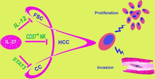 IL-37 is involved in different tumors. IL-37 has been found to play a role in three malignant tumors: fibrosarcoma, hepatocellular carcinoma and cervical cancer, by different molecular mechanisms. This figure showed three different mechanisms of IL-37 regulation on different tumors. FSC, fibrosarcoma; HCC, hepatocellular carcinoma; CC, Cervical Cancer.