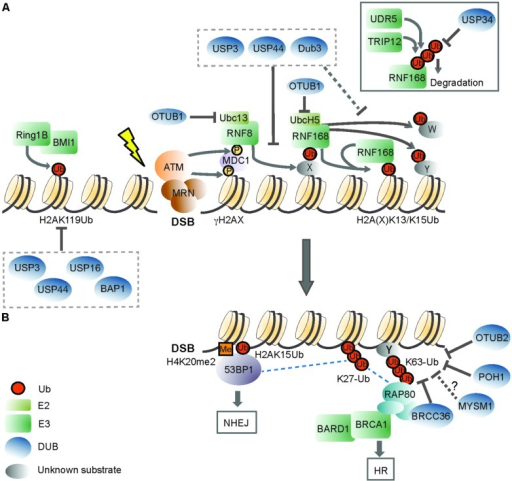 The role of deubiquitinating enzymes in the chromatin-based response to DNA double-strand breaks. (A) Recognition of a DNA double-strand break (DSB) by the MRN (MRE11-RAD50-NBS1) complex initiates DDR signaling, triggering ATM (ataxia-telangectasia mutated) kinase-dependent phosphorylation of H2AX (γH2AX). ATM phosphorylates also MDC1 (mediator of DNA damage checkpoint protein 1), which is recognized by the RING finger 8 (RNF8) E3 ligase. The activity of RNF8 is required for recruitment of a second E3, RNF168. RNF168 mono-ubiquitinates H2A-type histones on Lys13 and Lys15 (H2A(X)K13/K15Ub), and the concerted action of RNF8/RNF168 leads to the formation of K63-linked ubiquitin (Ub) chains on these lysines and to ubiquitination of other substrates (Y and W). RNF168 can bind to its own products, thereby amplifying chromatin ubiquitination around the DSB. OTUB1 opposes RNF168 activity in a non-catalytic manner, by binding to the E2 ubiquitin-conjugating enzymes UBC13 and UbcH5. USP3, USP44, and Dub3 DUB activities impair RNF168 recruitment, suggesting that they can target RNF8 substrate(s). These DUBs may also cleave RNF168-mediated ubiquitinated H2A(X). Excessive RNF168-dependent chromatin ubiquitination is limited by the TRIP12 and UBR5 E3 ligases, which target RNF168 for proteasomal degradation. USP34, instead, counteracts DSB-induced RNF168 ubiquitination. DSBs also trigger the recruitment of the Polycomb group E3 RING1B/BMI1, which mono-ubiquitinates H2A on Lys119 (H2AK119Ub) to locally repress transcription. USP16 and BAP1 target the H2AK119Ub mark, and USP16 activity is required for re-activation of DSB-induced transcriptional silencing. USP3 and USP44 oppose to steady-state mono-ubiquitinated H2A, which is primarily constituted by H2AK119Ub. (B) DSB-induced ubiquitin signals are recognized by downstream DDR factors. 53BP1 (p53 binding protein 1) recognizes the H2AK15Ub mark by its UDR (ubiquitination-dependent recruitment) motif, and dimethylated H4K20 (H4K20me2) with its TUDOR domain. One way BRCA1 (Breast cancer 1) is recruited to DSBs is through its interaction with RAP80 (receptor-associated protein 80), a protein that effectively binds K63-ub conjugates. BRCA1 has E3 ligase activity and functions as a heterodimer with BARD1 (BRCA1-associated RING domain protein 1). The DUBs BRCC36, POH1, and OTUB2 regulate DDR signaling by hydrolyzing DSB-induced K63-ub chains. OTUB2 also opposes to RNF8-dependent ubiquitination of L3MBTL1 (not shown). Whether MYSM1, which also possesses K63-ub cleavage activity, participates in this step of DDR is an open question. RNF168-mediated K27-linked ub chains on H2A/H2AX constitute additional DDR signals, and BRCA1/BARD1 catalyzed K6-linked chains (not shown) may also contribute to DDR. Specific activities that oppose to these atypical ub chains in DDR are not known. 53BP1 and BRCA1 determine effective DSB repair, with 53BP1 committing to NHEJ (non-homologous end joining) and BRCA promoting HR (homologous recombination). Dashed lines indicate proposed protein–protein interactions. X indicates an unknown RNF8 substrate(s), and Y and W indicate unknown RNF168 substrates. Please refer to the main text for details.