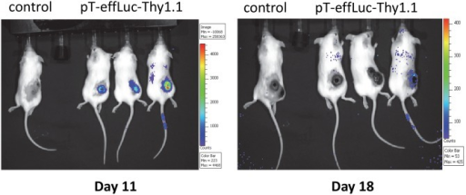 Homing of piggyBac-modified mouse splenocytes to tumor sites in vivo.OT-I mouse splenocytes were transfected with pCMV-m7pB and pT-effLuc-Thy1.1. 5 X 105 B16/OVA cells into the flank of C57Bl6 mice (day –8). piggyBac-modified splenocytes were adoptively transferred via tail vein injection on day 0 and day +8. Localization of infused splenocytes was visualized via in vivo imaging of luciferase expression on day +11. Show are 3 of 6 representative animals.