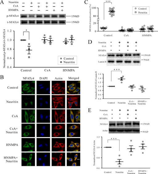 Neuritin induces dephosphorylation and nuclear accumulation of NFATc4.A, the levels of NFATc4 Ser168 and Ser170 phosphorylation (p-NFATc4) after neuritin treatment for 20 min in mice CGNs were examined by Western blotting. B and C, representative recording sample and statistical analysis showing effect of neuritin on nuclear accumulation of NFATc4 was examined by confocal microscopy in HeLa cells, which expressed IR activated by neuritin. The effects of CaN inhibitor CsA and IR inhibitor HNMPA are also shown. The percentage of nuclear NFATc4 in 100 cells was counted and presented. D, effect of neuritin on nuclear NFATc4 protein in mice CGNs by Western blotting analysis. E, effect of neuritin on cytoplasmic NFATc4 protein in mice CGNs by Western blotting analysis. *, p < 0.05; and ***, p < 0.001 for two groups connected with a straight line by one-way ANOVA followed by Fisher's post hoc test.