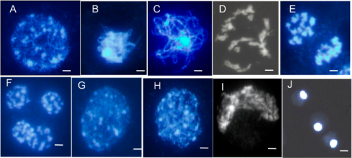 Male meiosis in fertile and sterile pollen mother cells (PMCs) prepared using the spreading technique and stained with DAPI.(A–F), meiosis in fertile PMCs; (G–J), meiosis in sterile PMCs; (A,G), leptotene. several bright stained chromatin centers were visible; (B,H), zygotene; (C) wild-type fertile pachytene showing full chromosome synapsis; (D) fertile diakinesis showing moderately condensed, unaligned bivalents; (E) telophase I, dyads were formed; (F) telophase II, tetrads were formed; (I) arrangement of chromosomes was disordered, and chromosomes formed the crescent-like structure; (J) the final arrested PMCs. Chromosomes remain together as a diffused mass. Neither meiosis I nor meiosis II is completed in these MMCs, showing meiosis being completely arrested. Scale bars = 5 μm.
