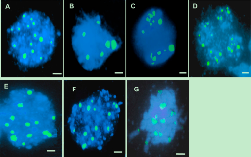 FISH analysis of meiosis in both the wild-type and the TE5A mutant.Meiotic chromosomes probed with 45S rDNA (green). Chromosomes were stained with DAPI (blue). (A,E), at leptotene stage, 12 to 14 45S rDNA signals were observed in the wild-type (A) and in the TE5A mutant (E), respectively; (B,F), at pachytene stage, six paired signals (half of the total number) were detected in the wild type (B), whereas 12 to 14 45S rDNA signals were still observed in the mutant (F,C,D,G) signals in half were observed in dyads (C) and tetrads (D) of the wild-type, in contrast, the number of 45S rDNA FISH foci was not halved, and unpaired 45S rDNA FISH foci were still observed in the mutant (G). Scale bars = 5 μm.