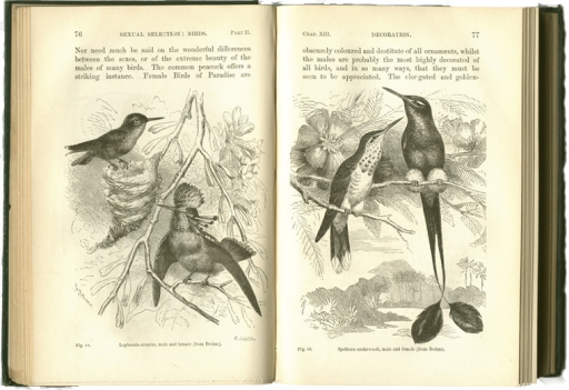 <p>Image of p. 76-77 from Darwin's Descent of man, and selection in relation to sex. The illustrations depict the sexual differences in two hummingbird species, specificially in their colors and plumage.</p>
